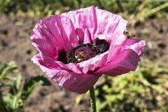 紫罗兰色鸦片在庭院里 免版税库存照片