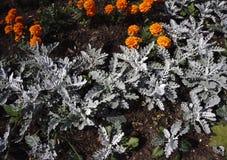紫罗兰色,紫色花在春天和夏天开花在日落在镇庭院里 库存图片
