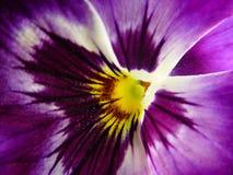 紫罗兰色 库存图片
