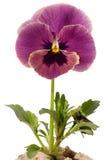 紫罗兰色 免版税库存照片