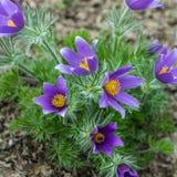 紫罗兰色pasque花的宏观图片 免版税库存照片