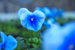 紫罗兰花在一个晴朗的下午的公园 免版税图库摄影