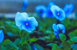 紫罗兰花在一个晴朗的下午的公园 免版税库存照片