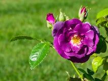 紫罗兰花在灌木的庭院,特写镜头,选择聚焦,浅DOF里上升了 免版税库存照片