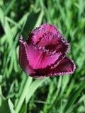 紫罗兰被装饰的郁金香 免版税库存照片