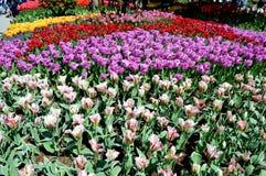 紫色、Yeloow和红色郁金香 图库摄影