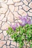 紫色丁香的布什反对一个石墙的背景的 免版税库存照片