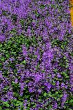 紫色丁香的领域和绿色淡紫色花和芽 免版税库存照片