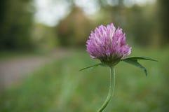 紫色三叶草在草甸 库存图片
