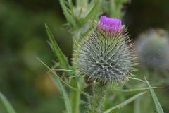 紫色三叶草盖帽01 免版税图库摄影