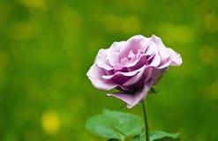 紫色上升了 免版税库存照片