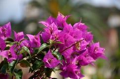 紫色九重葛夏天绽放  免版税库存图片