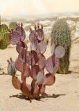紫色仙人掌在一个南部的亚利桑那庭院里 免版税库存图片