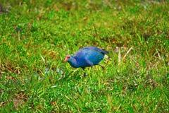 紫色停泊母鸡或西部swamphen,波尔菲里奥波尔菲里奥 免版税库存照片