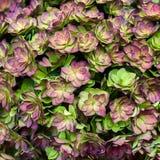 紫色八仙花属背景 库存图片