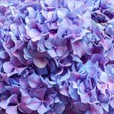 紫色八仙花属背景 库存照片