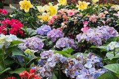 紫色八仙花属,黄色百合花在庭院里 开花的植物群 免版税库存照片