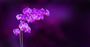 紫色兰花分行 库存图片