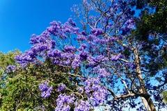 紫色兰花楹属植物树花晚春 免版税库存图片