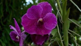 紫色兰花的开花的枝杈 股票录像