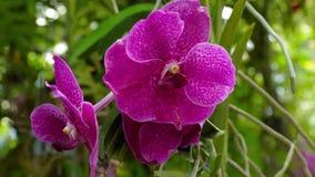 紫色兰花的开花的枝杈 股票视频