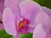 紫色兰花 免版税图库摄影