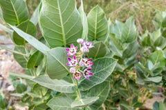 紫色冠花巨型印度乳草,Calotropis gigantea 免版税库存照片