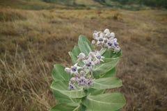 紫色冠花 库存照片