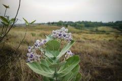 紫色冠Flowe 库存图片