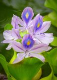 紫色凤眼兰Eichhornia crassipes当地人向热带和亚热带南美洲,考艾岛,夏威夷,美国 库存照片