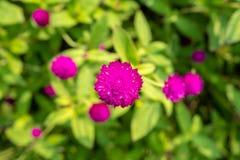 紫色千日红花顶视图在被弄脏的绿色叶子背景的 库存图片