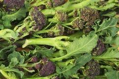 紫色发芽 免版税库存图片