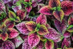 紫色叶子 库存图片
