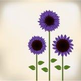 紫色向日葵 免版税库存照片