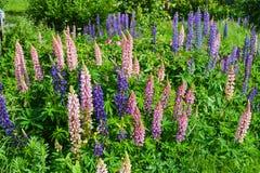 紫色和桃红色羽扇豆束紫色和桃红色羽扇豆束 免版税图库摄影
