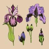 紫色和桃红色虹膜花、绿色叶子和按钮 皇族释放例证