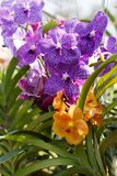 紫色和橙色兰花在庭院里,在张Mai附近,泰国 新鲜 五颜六色2 免版税库存照片
