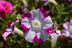 紫色和白色喇叭花花 免版税图库摄影