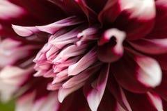 紫色和白色大丽花特写镜头头  花backround 库存图片