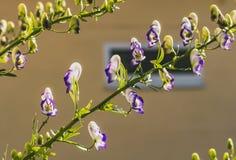 紫色和白色附子花或乌头napellus在黄色被弄脏的背景 库存照片