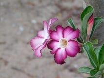 紫色和白色Adenium 免版税图库摄影