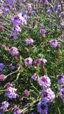 紫色和白花在庭院里在阳光下 库存图片