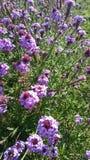 紫色和白花在庭院里在阳光下 库存照片