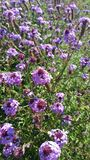 紫色和白花在庭院里在阳光下 免版税库存图片