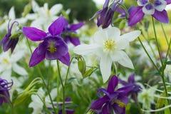 紫色和白花在花床上的aquilegia特写镜头 库存图片