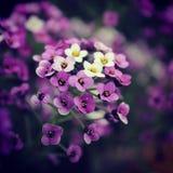 紫色和白花 免版税库存图片