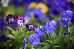 紫色和蓝色中提琴在公园开花开花 免版税库存图片