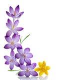 紫色和黄色番红花 库存图片