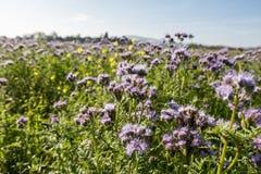 紫色和黄色花田在一个晴天 库存照片