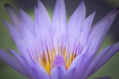 紫色和黄色莲花 免版税库存照片
